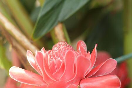 Etlingera elatior flower photo