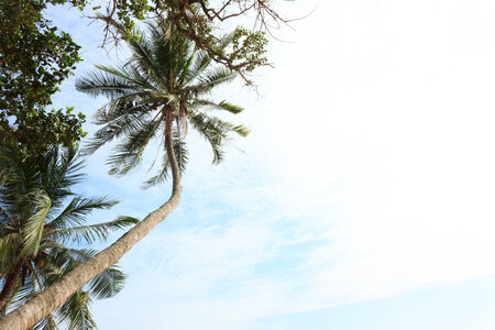 Coconut tree with the blue sky photo
