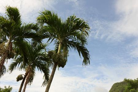 betel palm with blue sky photo