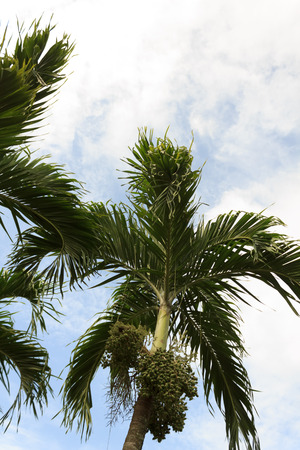 betel palm with blue sky photo