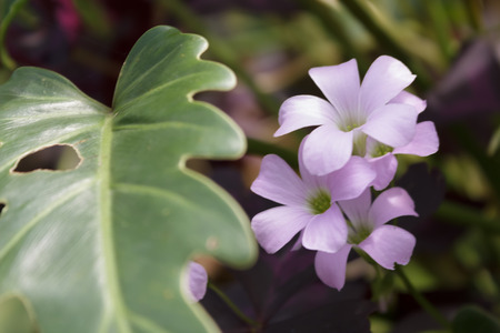 Oxalis triangularis photo