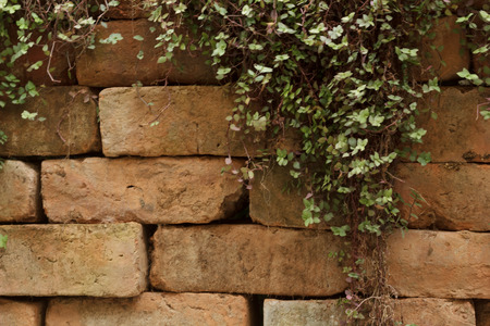 ivy wall: Brick wall with ivy
