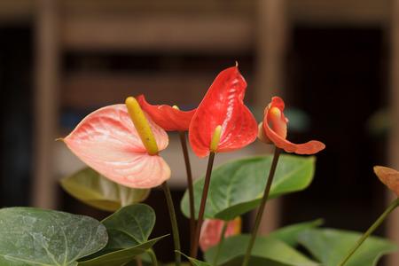 spadix flower photo
