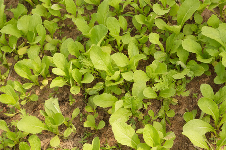 plot: lettuce in vegetable plot Stock Photo