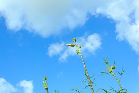 Okra flower with blue sky photo