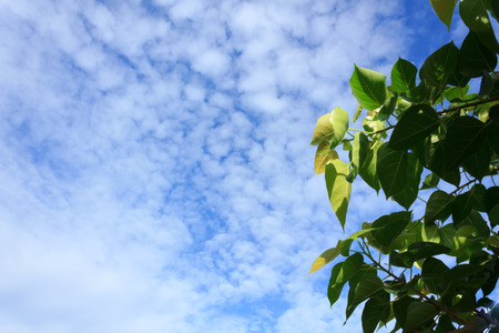 pipal: Pipal leaves with blue sky
