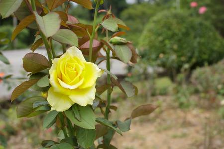 yellow roses: Rosas amarillas