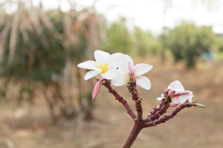 Frangipani in the garden Stock Photo