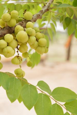 gooseberry: Star gooseberry  fruit Stock Photo