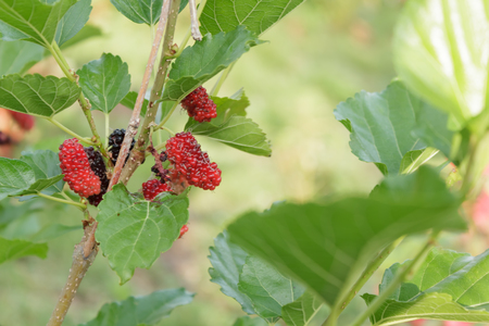 mulberry: Mulberry fruit