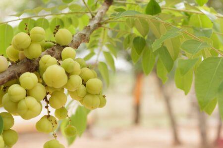 gooseberry: Estrella fruta gooseberry
