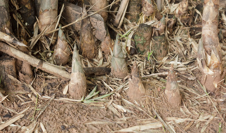 shoots: Los brotes de bamb?