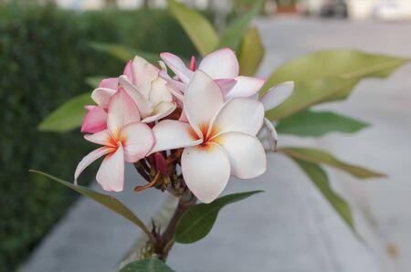 Frangipani flower Фото со стока