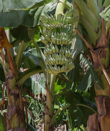 Banana tree in the garden