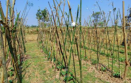 long bean: Yard long bean are grown in the garden