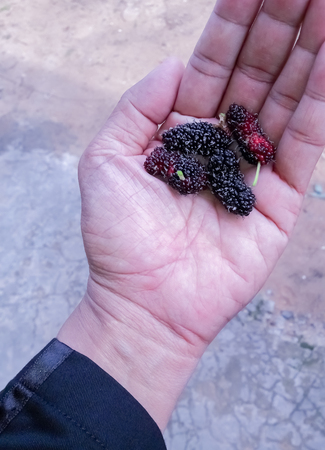 Malberry fruit in hand Stockfoto