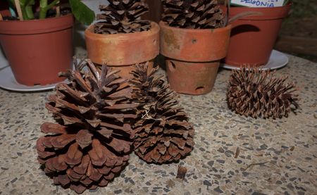 Dry fruit of the pine trees to decorate the house.