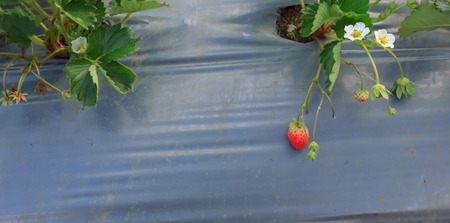Strawberry in Thai Farmers Garden.