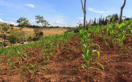 Corn in the garden of Thai farmers.