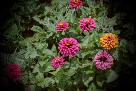Beautiful Zinnia violacea Cav. in the garden.