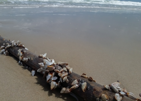 Barnacles on timber. Stock Photo