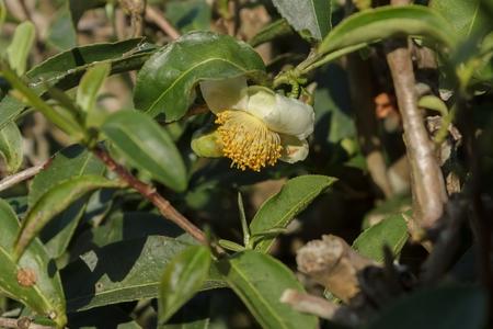 Flower of tea tree Stock Photo