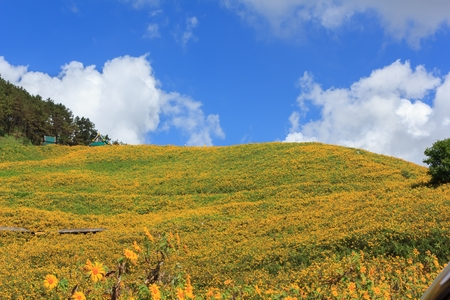 Beautiful mexican sunflower on the mountains in Thailand Banco de Imagens