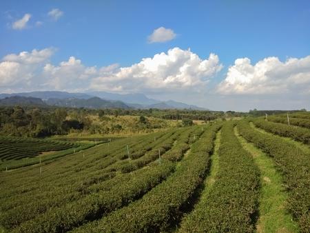 Beautiful tea plantation on the mountain Stok Fotoğraf