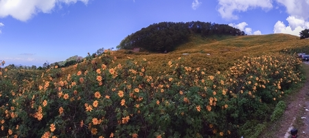 Beautiful mexican sunflower on the mountains in Thailand Stok Fotoğraf - 119599950