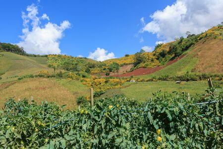 Tomato garden on the mountain