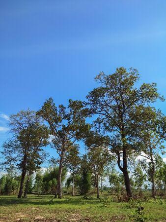 Big tree and sky