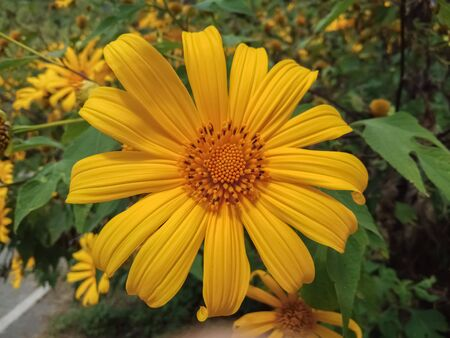 Beautiful mexican sunflower on the mountains in Thailand Banque d'images