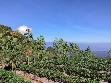 Farm Strawberry berries on the mountain. Stok Fotoğraf