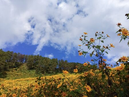 Beautiful mexican sunflower on the mountains in Thailand Stok Fotoğraf