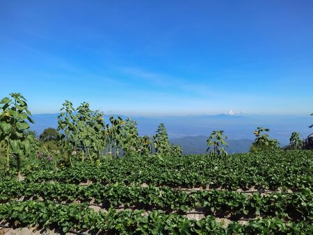 Farm Strawberry berries on the mountain. Imagens