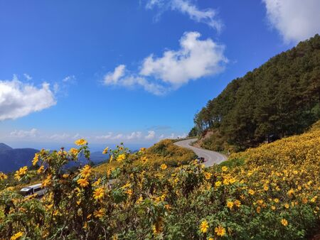 Beautiful mexican sunflower on the mountains in Thailand Imagens
