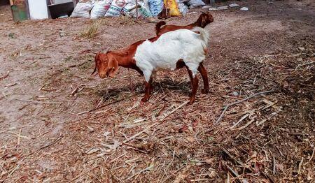 Many goats on the farm Stok Fotoğraf