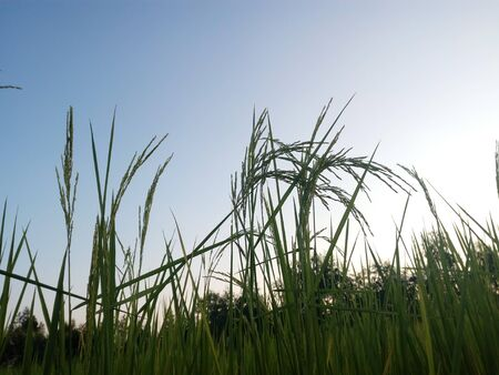 Rice and sky in evening