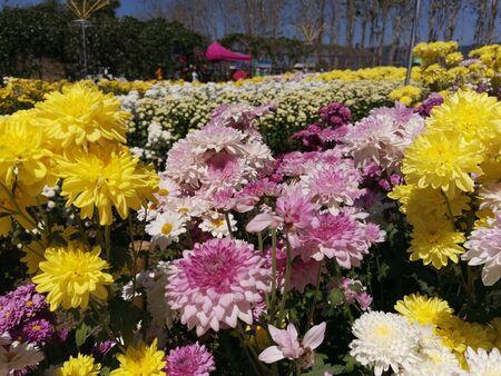 Beautiful chrysanthemum in the garden