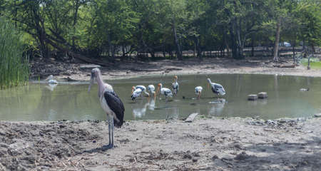 The Marabou stork (Leptoptilos crumenifer) is a large wading bird in the stork family Ciconiidae, Standing in the lake.  Or the undertaker bird, It breeds in Africa south of the Sahara. Wildlife photo
