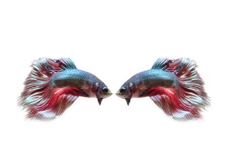 Siamese fighting fish, on white background. Stock Photo - 18730135