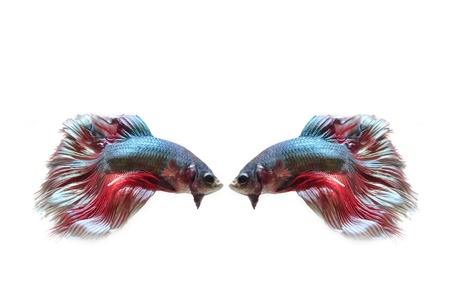 Siamese fighting fish, on white background. photo