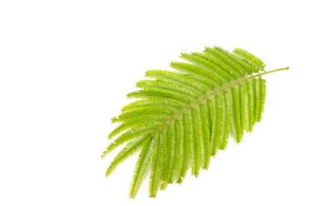stinking: tropical stinking edible beans (Parkia Speciosa) leaf on white background  Stock Photo