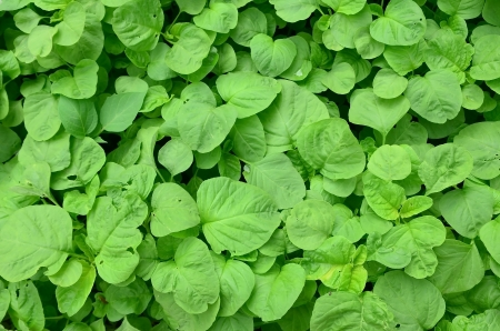 Fresh  leaves of spinach in the garden photo