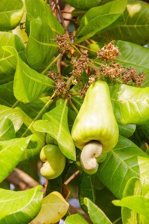 cashew tree: Cashew apple on the tree