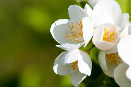 jasmine flower: Jasmine