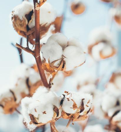 Krajobraz upraw bawełny z miejscem na kopię. Zdjęcie Seryjne