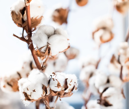 cotton crop: Cotton crop landscape with copy space area.