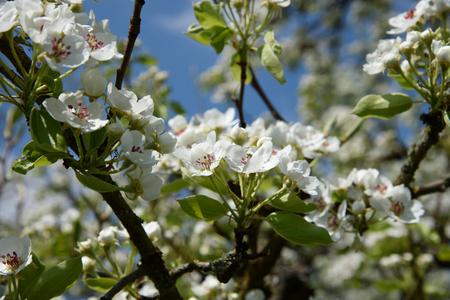 fleur de cerisier: Fleur de cerisier fleur et nuages ??de ciel pour un fond naturel