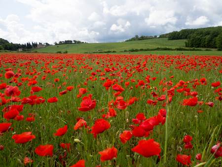 Many poppies in a field a cloudy sommer day. Stock Photo